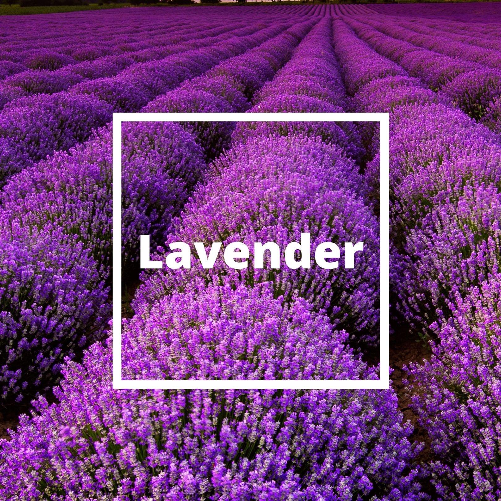 L'ATELIERO - Lavender - Irresistible Man